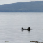 Foca nella baia di Broadford-Isola di Skye